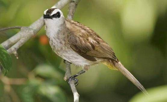 ciri burung trucukan