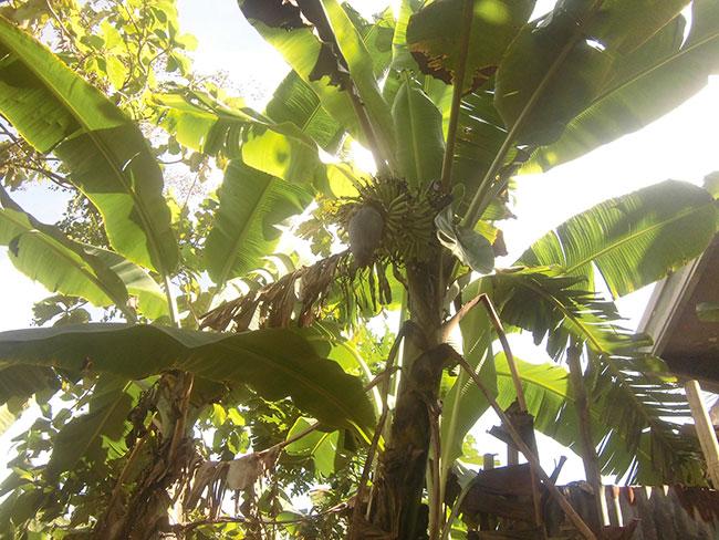 pohon pisang di rumah
