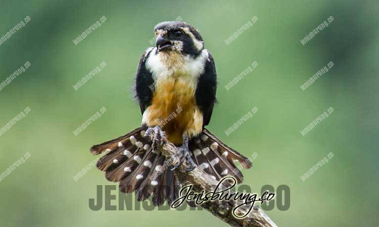 Alap-Alap Capung, Black-thighed Falconet (Microhierax Fringillarius), jenis burung, jenis alap-alap, alap-alap capung, merawat alap-alap capung, harga alap-alap capung full skill