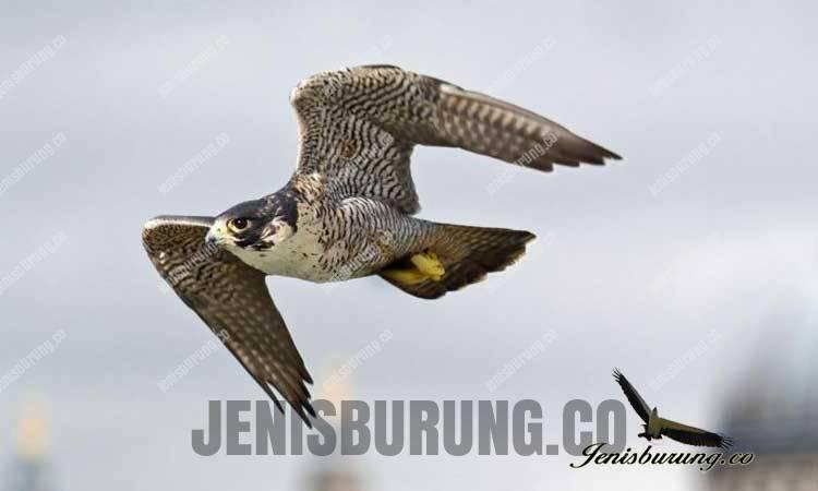 Suara Alap-alap Kawah, Peregrine Falcon (Falco peregrinus)
