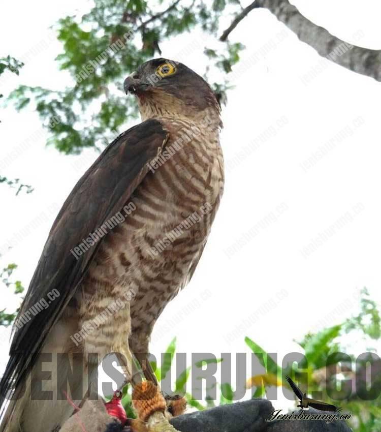 Alap-alap Nippon, Japanese Sparrowhawk (Accipiter Gularis)