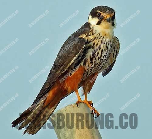 alap-alap walet, eurasian hobby atau falco subbuteo
