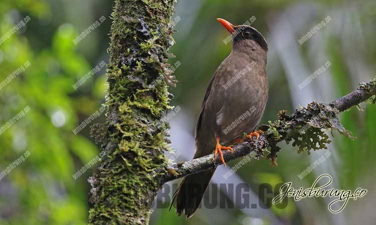 Anis Sulawesi, harga anis sulawesi, merawat anis sulawesi, ciri-ciri anis sulawesi jantan dan betina, Sulawesi Thrush (Cataponera Turdoides)