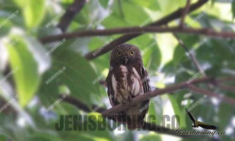 Beluk-watu Javan Owlet (Glaucidium castanopterum Horsfield)