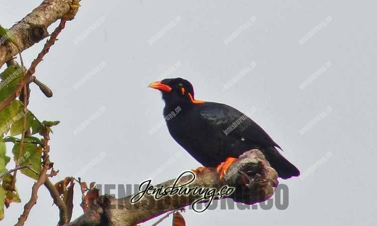 Beo Enggano, Enggano hill myna, Gracula enganensis, jenis burung beo, cara membedakan beo jantan dan betina, harga burung beo, makanan burung beo, cara melatih burung beo, perbedaan burung beo