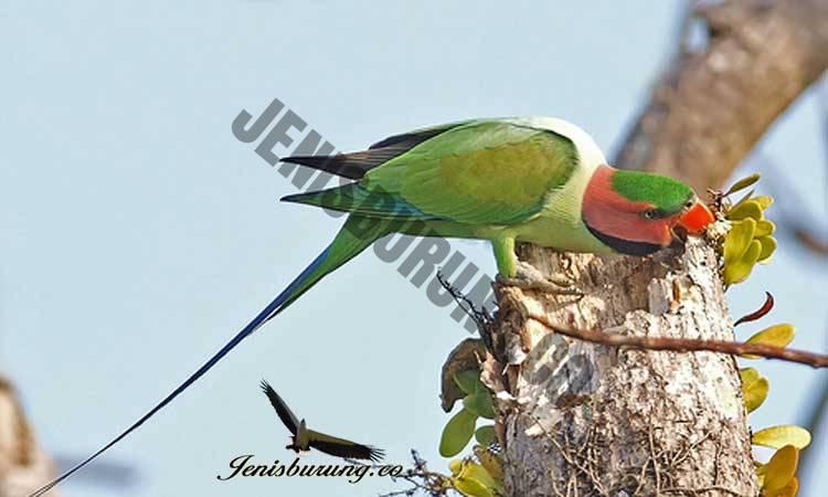 Betet Ekor Panjang, Psittacula longicauda long tailed parakeet