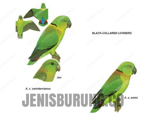 Black collared lovebird (Agapornis Swindernia)