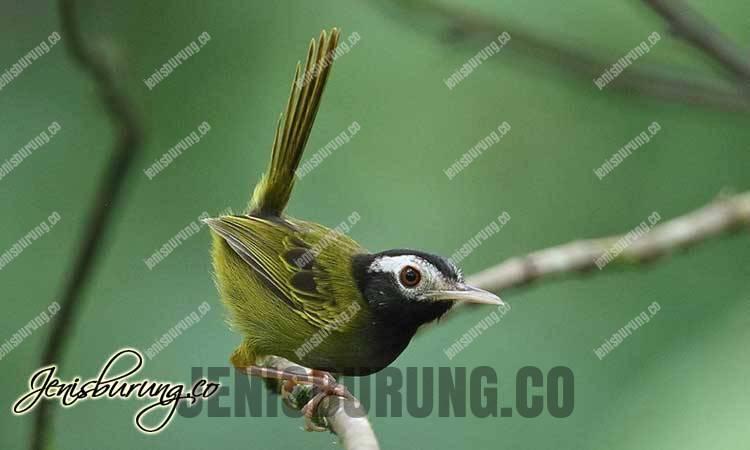 Black-headed Tailorbird (Orthotomus nigriceps)