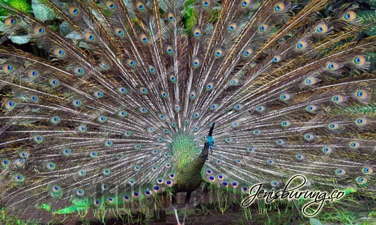 Burung Merak Hijau, Green Peafowl-(Pavo Muticus), harga merak hijau, burung merak jantan dan betina