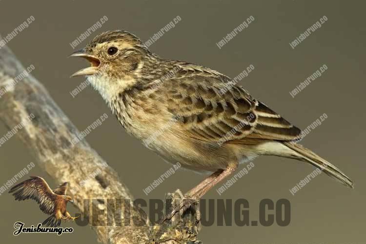 Burung branjangan afrika Mirafra Javanica Chadensis