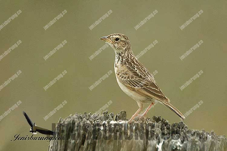 Burung branjangan afrika Mirafra Javanica horsfieldii