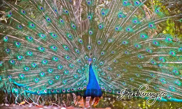 Burung merak biru, Indian peafowl (Pavo cristatus)