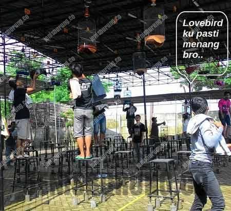Cara mengatur birahi lovebird Untuk Lomba