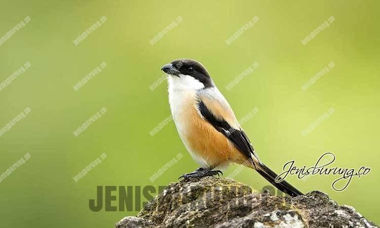 Cara Mengatasi Burung Cendet Stres Agar Gacor