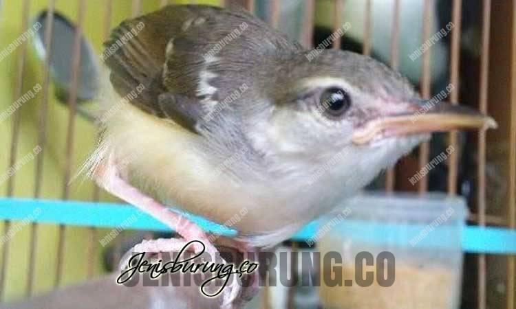 Cara Mengatasi Ciblek Cabut Bulu Ekor, Penyebab Ciblek Cabut Bulu Ekor, cara mengatasi burung ciblek cabutin bulu ekor, penyebab burung ciblek cabutin bulu ekor, penyebab ciblek ciak ekor, cara mengatasi ciblek ciak ekor