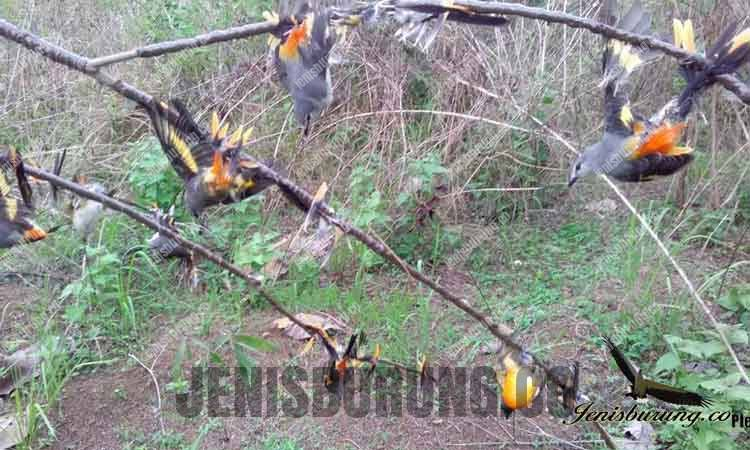 Cara Menjinakkan Burung Liar Hasil Tangkapan Hutan