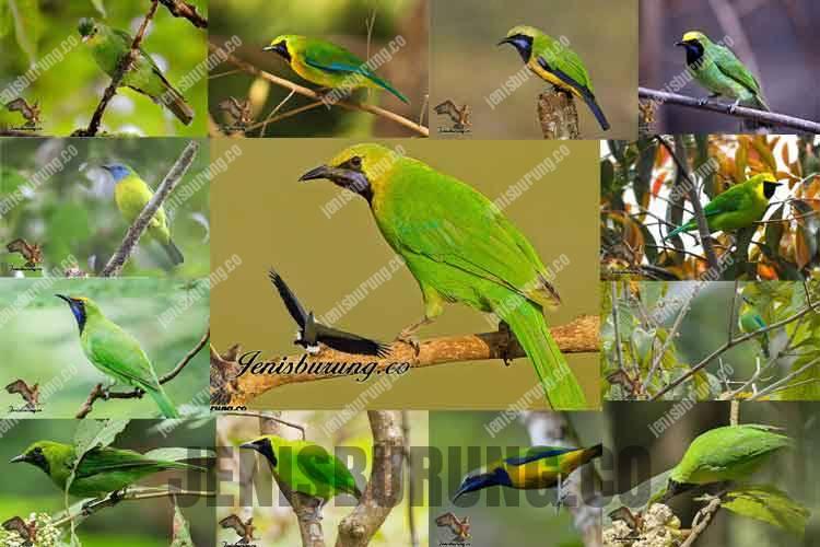 download suara cucak ijo gacor untuk masteran burung dan pikat burung cucak ijo