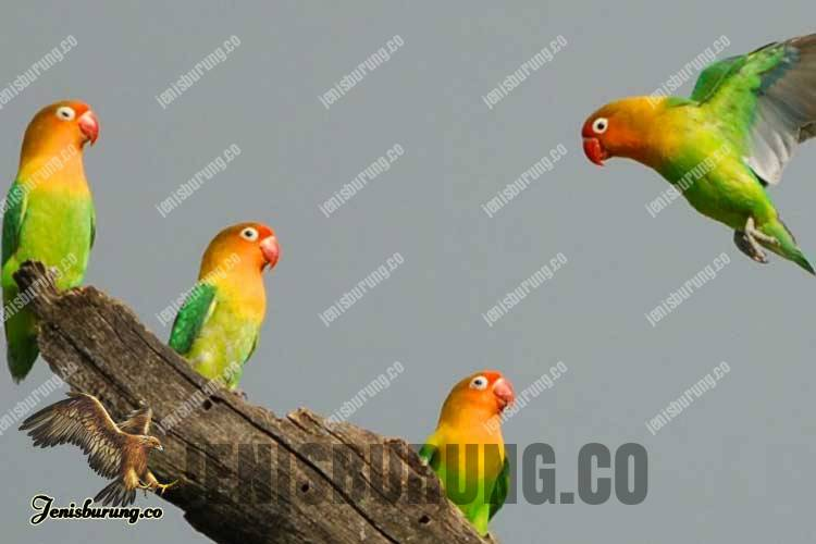 Cara Ternak Burung Lovebird dengan Cara Poligami