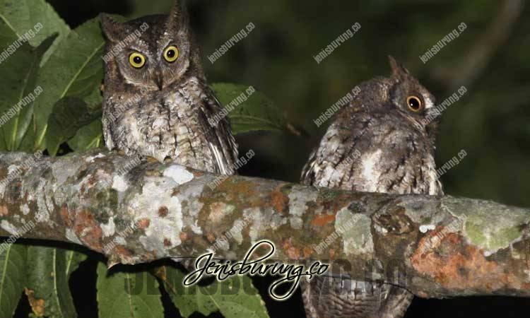 Celepuk Jawa, Javan Scops-owl, Otus angelinae, harga celepuk jawa, merawat celepuk jawa, makanan celepuk jawa, suara burung hantu