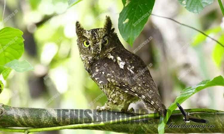 Celepuk Scops owls (Otus lempiji)