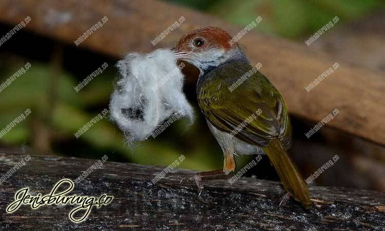 Chestnut-crowned Tailorbird (Orthotomus castaneiceps)