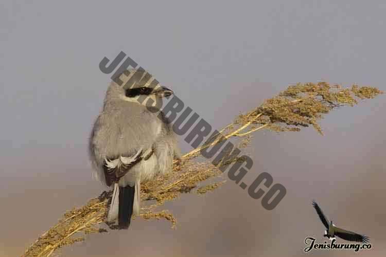 jenis burung cendet Chinese grey shrike, Lanius sphenocercus
