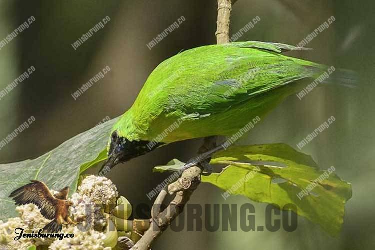 Chloropsis cochinchinensis (Javan Leafbird)