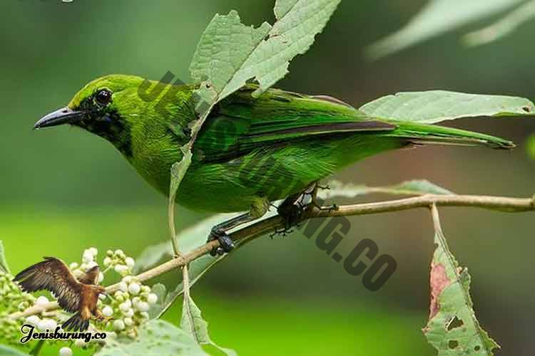 Chloropsis cyanopogon (Lesser Green Leafbird) Burung Cica daun kecil