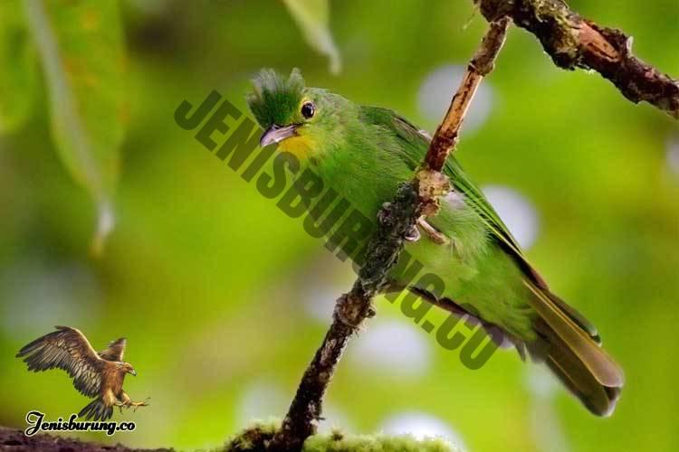 Chloropsis flavipennis (Philippine Leafbird) Burung cica Daun Filipina