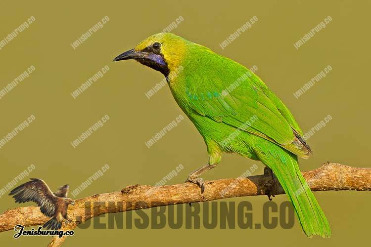 Chloropsis jerdoni (Jerdon's Leafbird) Burung cica daun atau cucak hijau india
