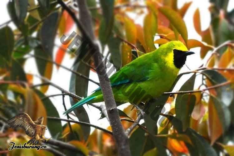 Chloropsis kinabaluensis (Bornean Leafbird) Burung cica daun kalimantan