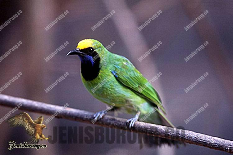 Chloropsis media (Sumatran Leafbird) - Burung cica daun Kepala Kuning Sumatera