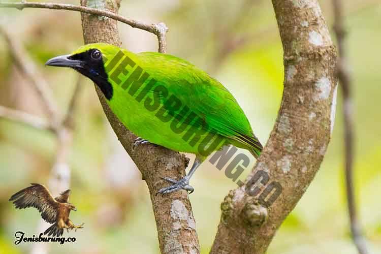 Chloropsis sonnerati (Greater Green Leafbird) Burung Cica Daun Besar