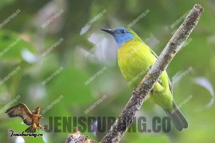 Chloropsis venusta (Blue-masked Leafbird) - Cucak Rante Biru Sumatera