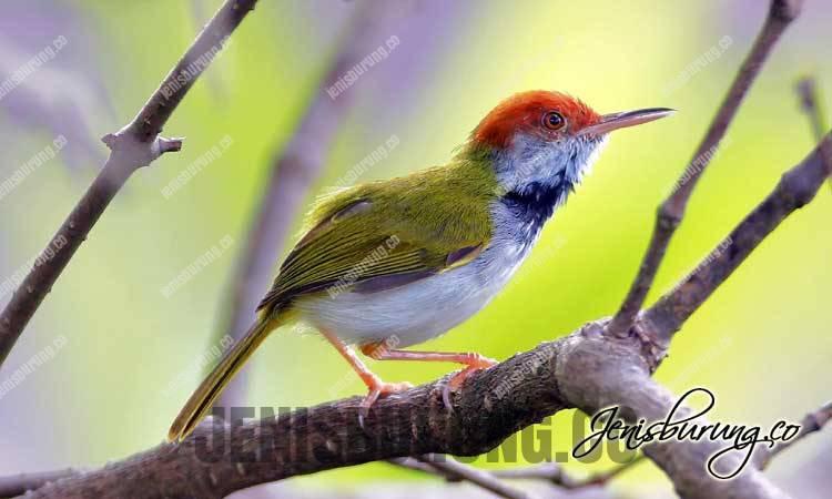 Cinenen Belukar jantan dan betina, Dark-necked Tailorbird (Orthotomus Atrogularis)