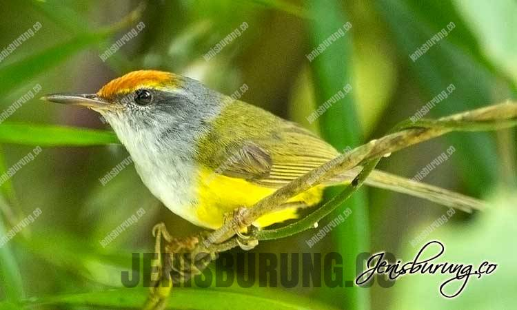 Cinenen Gunung jantan dan betina, prenjak emas jantan dan betinaMountain Tailorbird (Orthotomus Cucullatus)