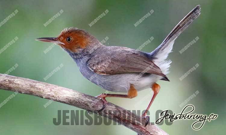 Cinenen Kelabu jantan dan betina, prenjak klawu jantan dan betina, Ashy Tailorbird (Orthotomus Ruficeps)