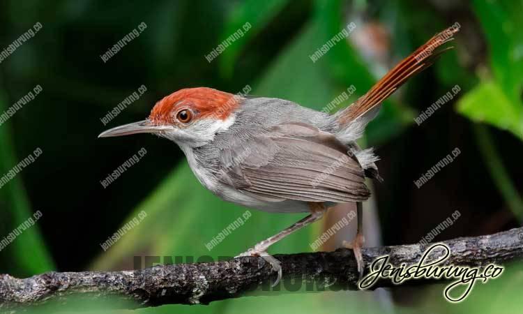 Cinenen Merah jantan dan betina, Rufous-tailed Tailorbird (Orthotomus Sericeus)