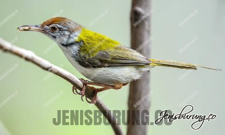 Cinenen Pisang Jantan dan Betina, Common Tailorbird (Orthotomus Sutorius)