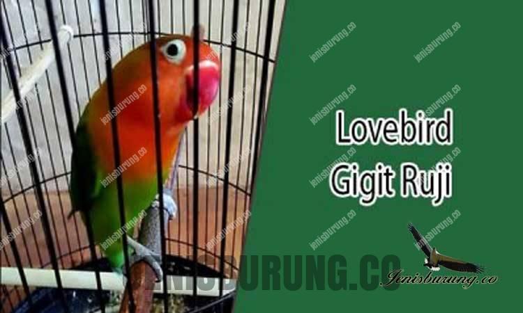 Ciri-Ciri Lovebird Bukan Tipe Lomba