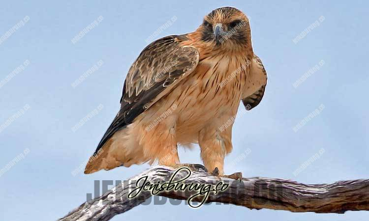Ciri Fisik Elang Kecil, Little Eagle, Aquila Morphnoides, harga elang kecil, elang kecil ful skil, cara melatih elang, merawat elang