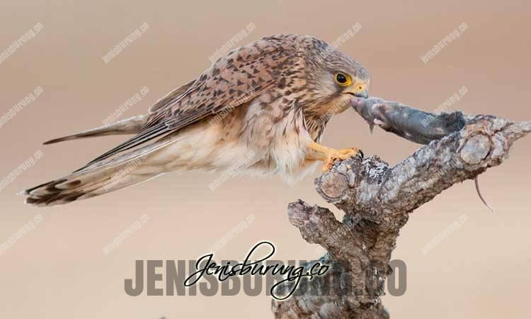 Ciri-ciri Alap-alap erasia, Common Kestrel, Falco tinnunculus, harga alap-alap erasia, cara menjinakkan alap-alap, alap-alap erasia full sikil, alap-alap erasia real hunting, harga alap-alap erasia