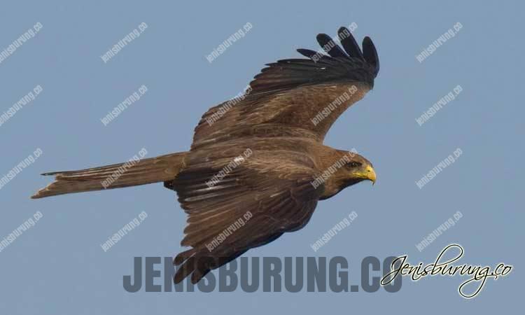 Ciri-ciri Elang Paria, Black Kite (Milvus migrans)