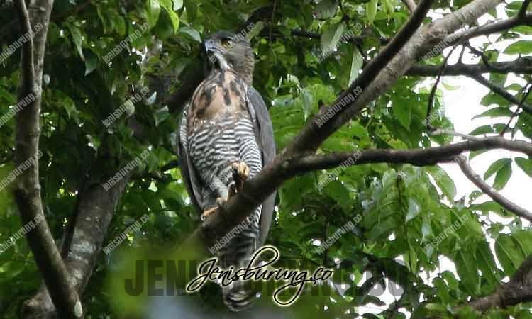 Ciri-ciri Elang Sulawesi, Sulawesi Hawk-eagle (Nisaetus lanceolatus), harga elang sulawesi