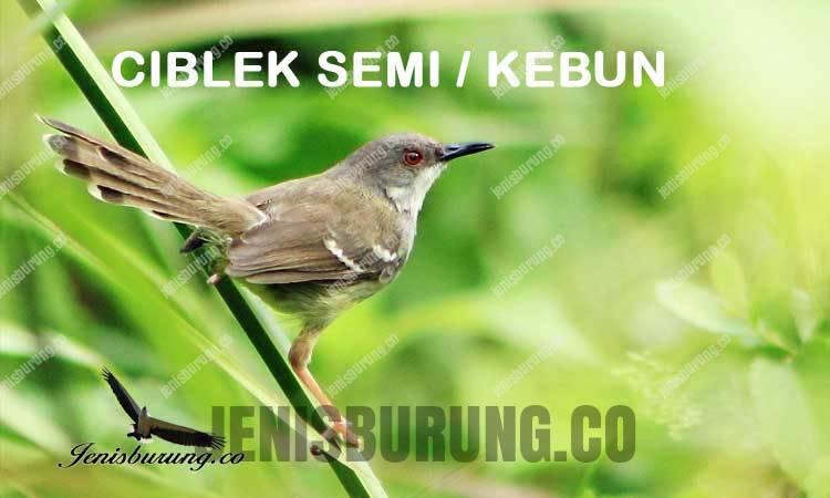 Ciri-ciri burung ciblek Semi Bar-winged Prinia (Prinia familiaris), harga burung ciblek, suara burung ciblek