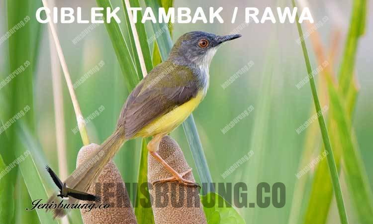 Ciri-ciri burung ciblek tambak atau rawa Yellow Bellied Prinia (Prinia flaviventris)