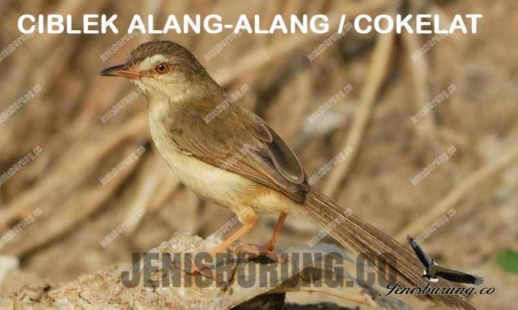 Ciri-ciri ciblek alang-alang Brown Prinia (Prinia polychroa)