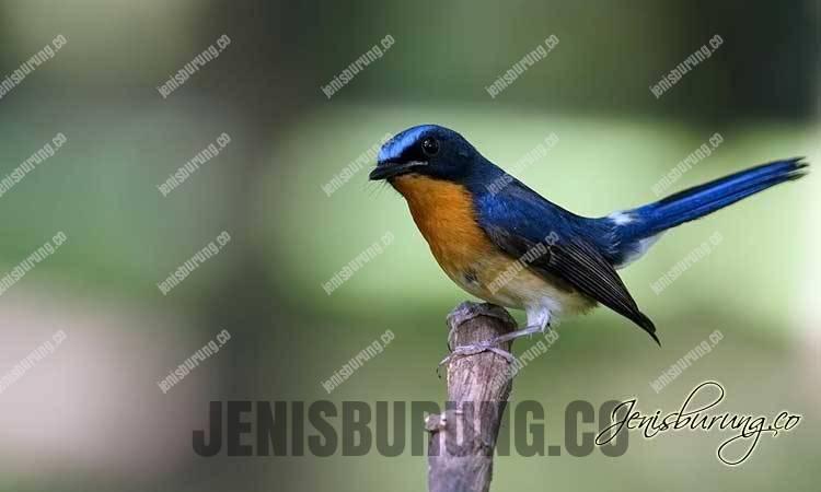 Suara Burung Tledekan Gacor Untuk Masteran Burung