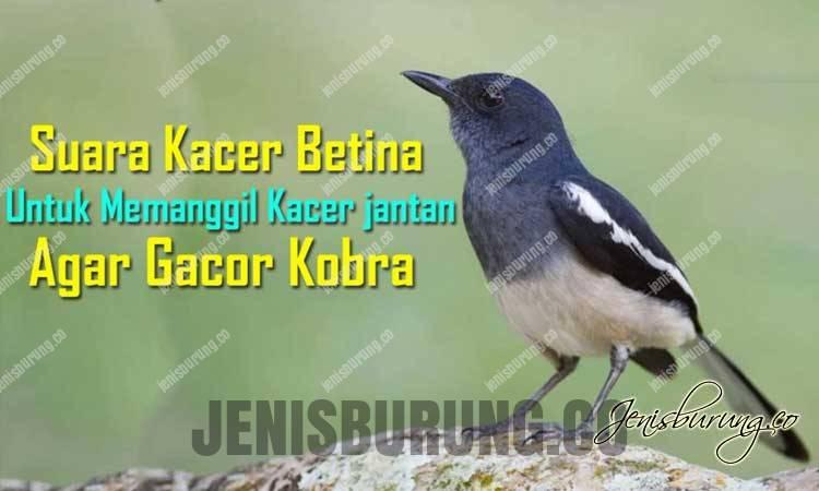 Download Suara Kacer Betina Untuk Masteran atau Pikat Kacer Jantan
