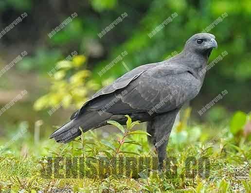 elang brontok hitam atau elang che-dm